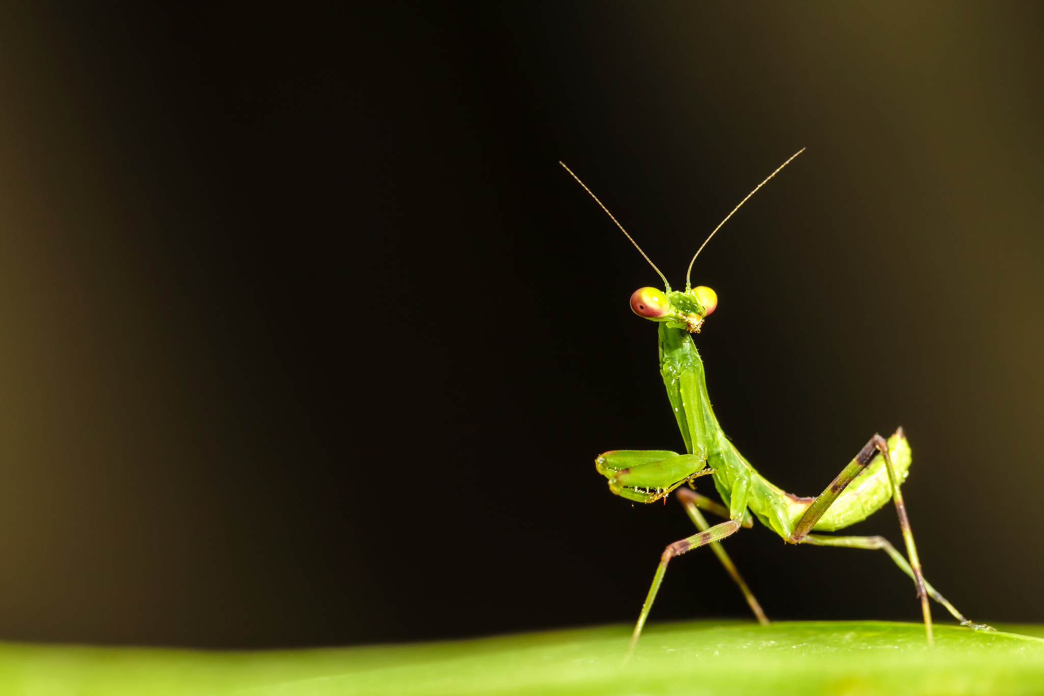 the background of the praying mantis Find praying mantis stock images in hd and millions of other royalty-free stock photos, illustrations, and vectors in the shutterstock collection thousands of new, high-quality pictures added every day.
