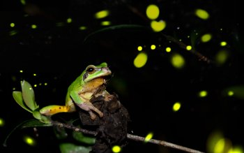 Animal - Frog Wallpapers and Backgrounds ID : 410293