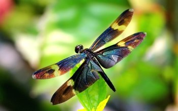 Animal - Dragonfly Wallpapers and Backgrounds ID : 410505