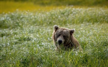 Animal - Bear Wallpapers and Backgrounds ID : 411912