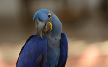 Animalia - Macaw Wallpapers and Backgrounds ID : 412004