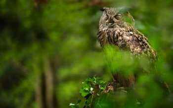 Animalia - Owl Wallpapers and Backgrounds ID : 412529