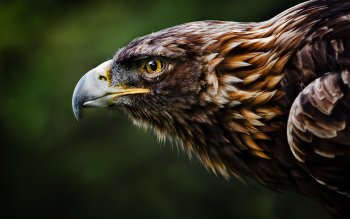 Animal - Eagle Wallpapers and Backgrounds ID : 413107