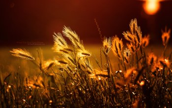 Earth - Wheat Wallpapers and Backgrounds ID : 413139