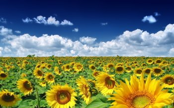 Earth - Sunflower Wallpapers and Backgrounds ID : 413281
