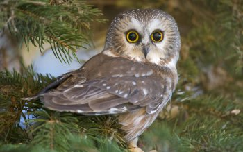 Animal - Owl Wallpapers and Backgrounds ID : 413378