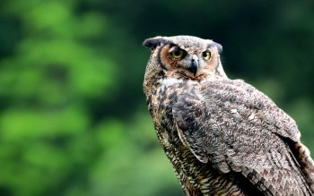 Animal - Owl Wallpapers and Backgrounds ID : 413708