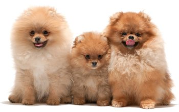 Animal - Pomeranian Wallpapers and Backgrounds ID : 413736