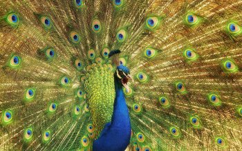 Animal - Peacock Wallpapers and Backgrounds ID : 413820