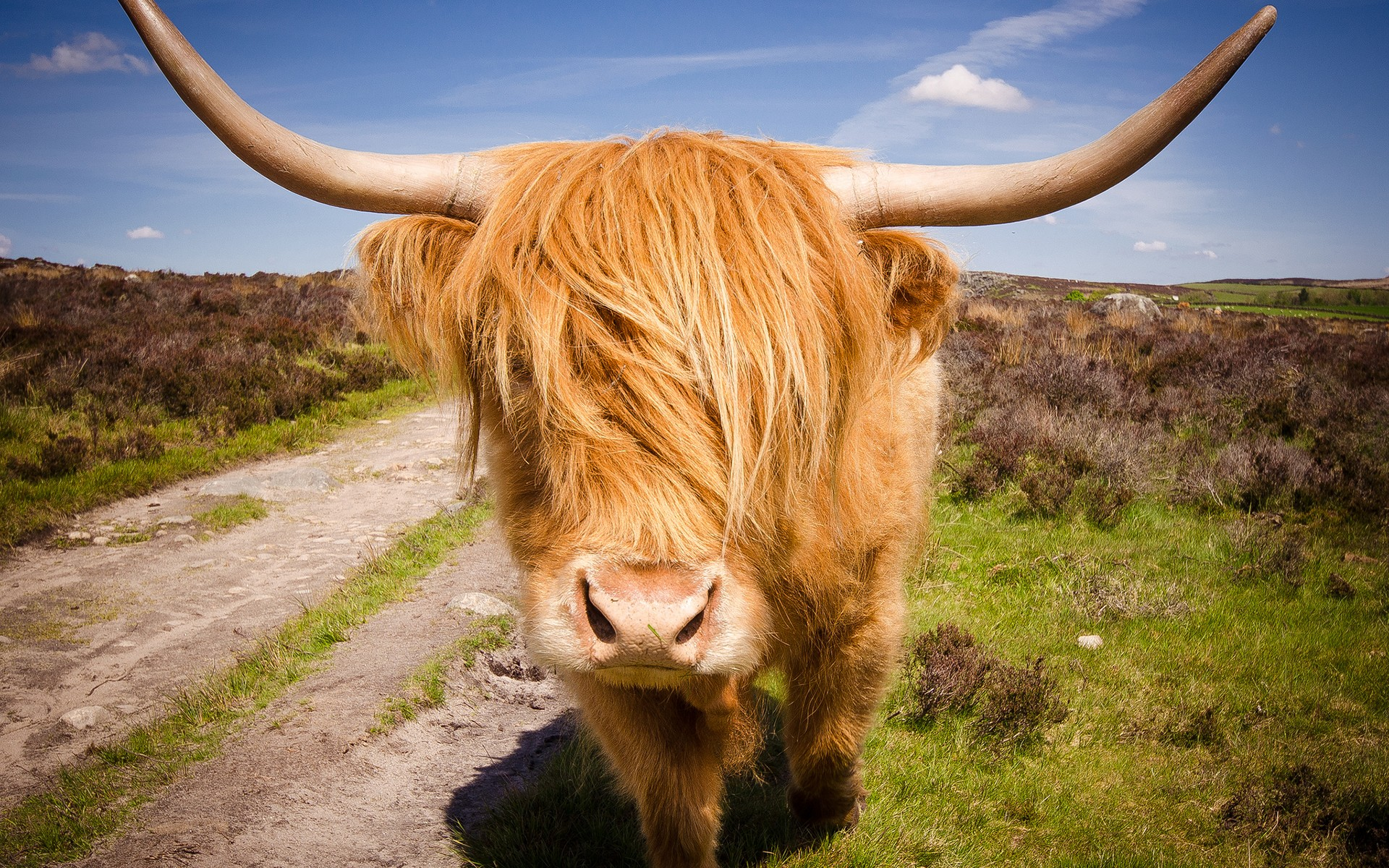 Highland Cattle Hd Wallpaper Background Image 1920x1200 Id 414776 Wallpaper Abyss