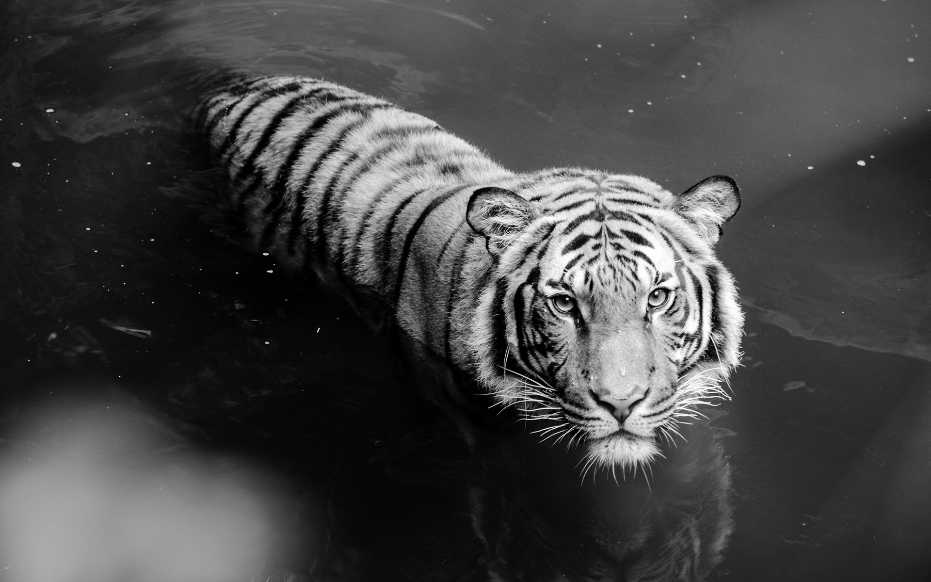 246 white tiger hd wallpapers | background images - wallpaper abyss