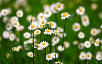 408 Daisy Hd Wallpapers Background Images Wallpaper Abyss