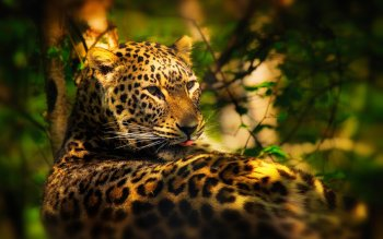 Animal - Leopard Wallpapers and Backgrounds ID : 414952