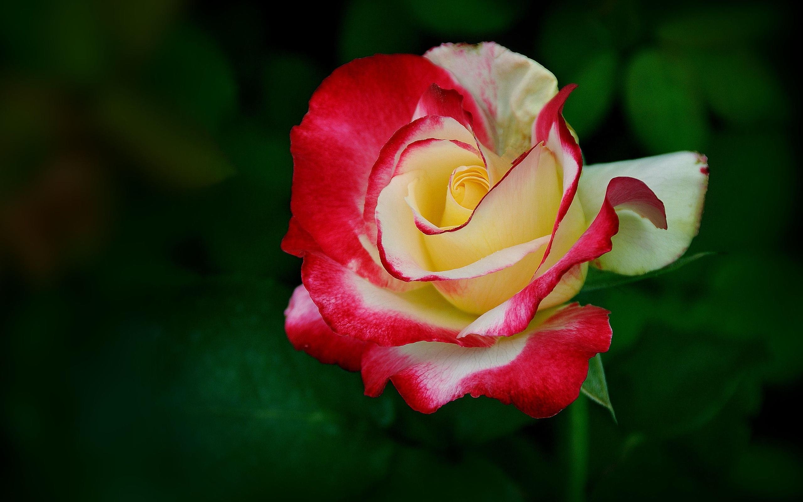 Rose hd wallpaper background image 2560x1600 id - Big rose flower wallpaper ...