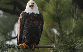 Animal - Bald Eagle Wallpapers and Backgrounds ID : 415798