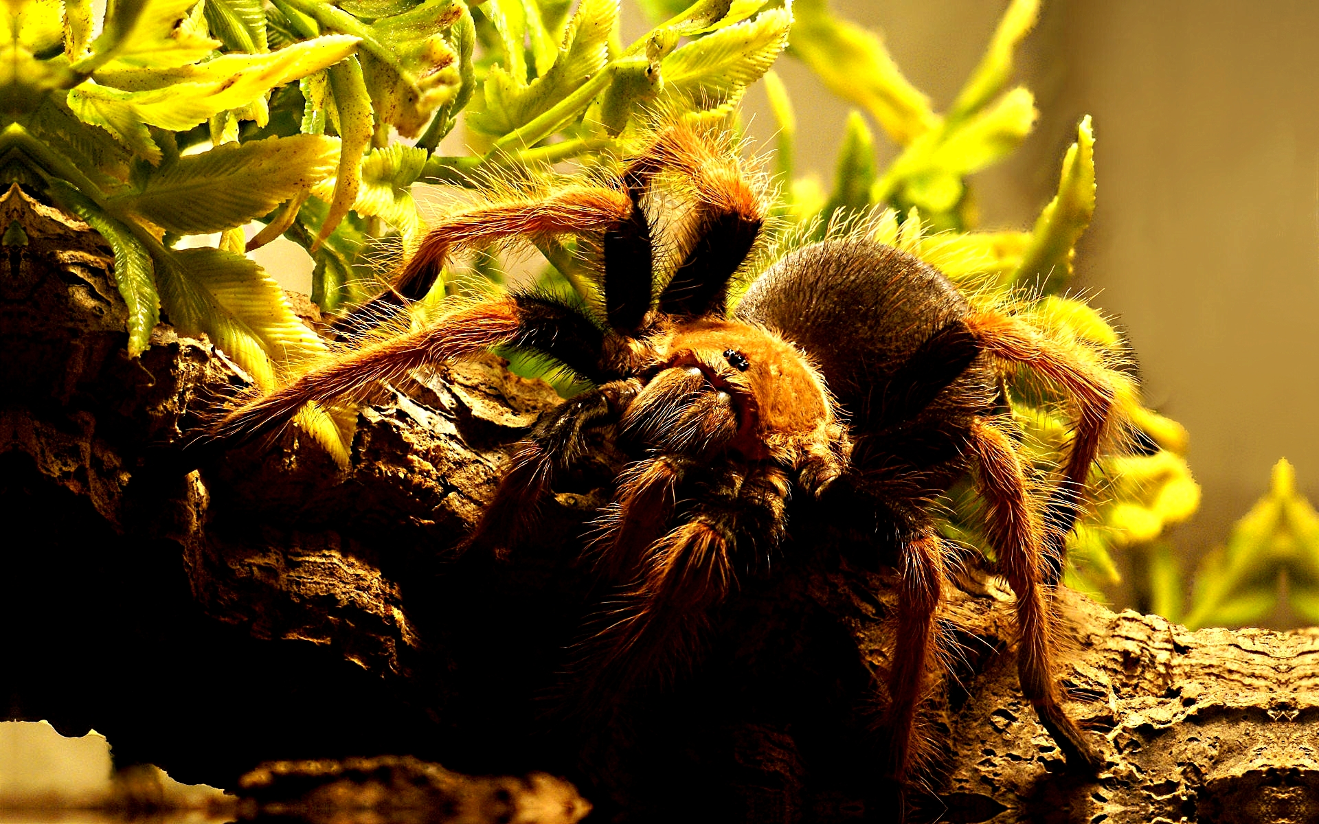 Tarantula full hd wallpaper and background image - Spider hd images download ...