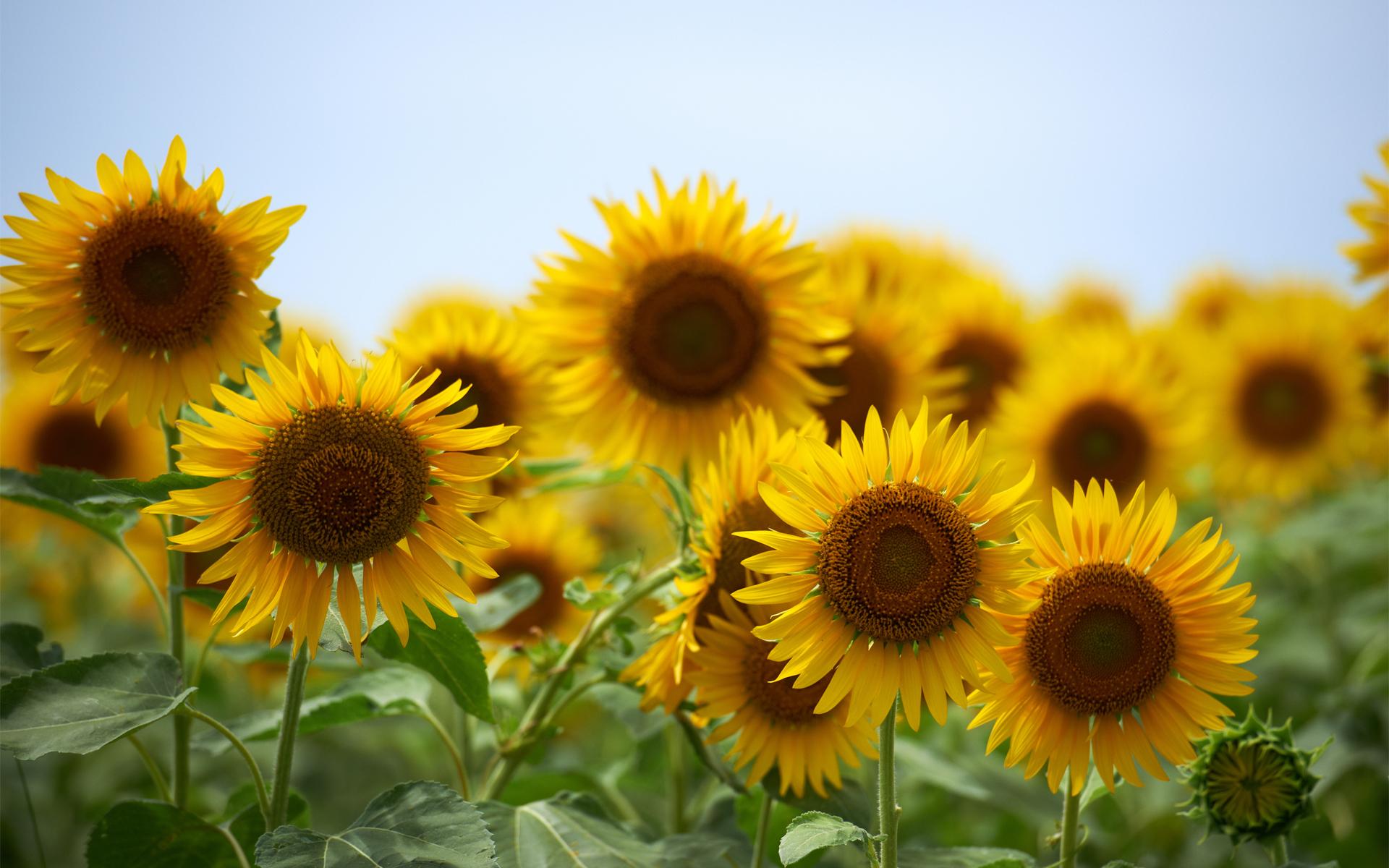 Flores Horizontales Dibujos Animados Patrón De Fondo: Sunflower HD Wallpaper