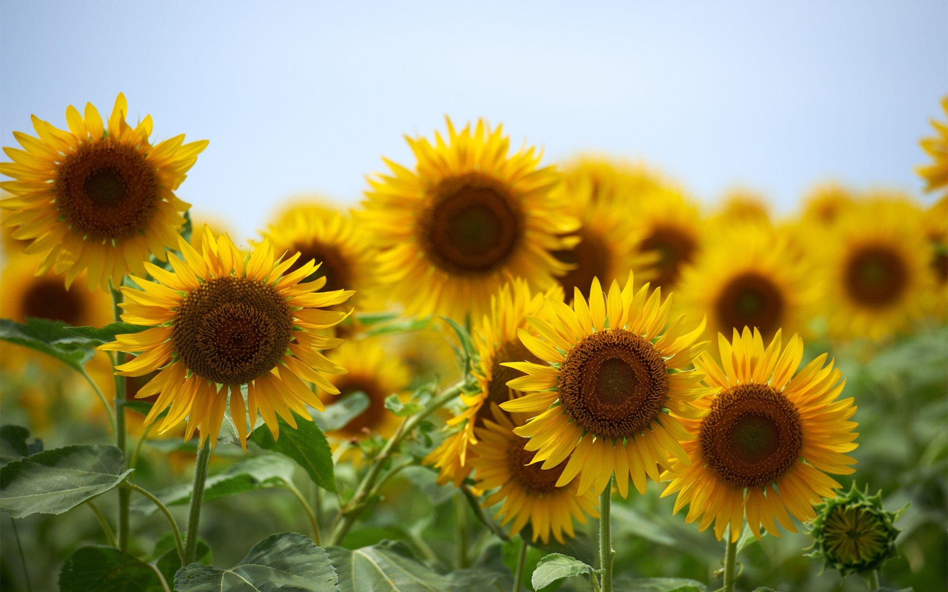 Imagenes De Fondo Flores Para Pantalla Hd 2: Sunflower HD Wallpaper