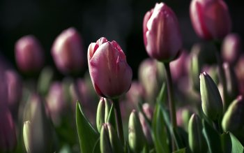 Earth - Tulip Wallpapers and Backgrounds ID : 416269