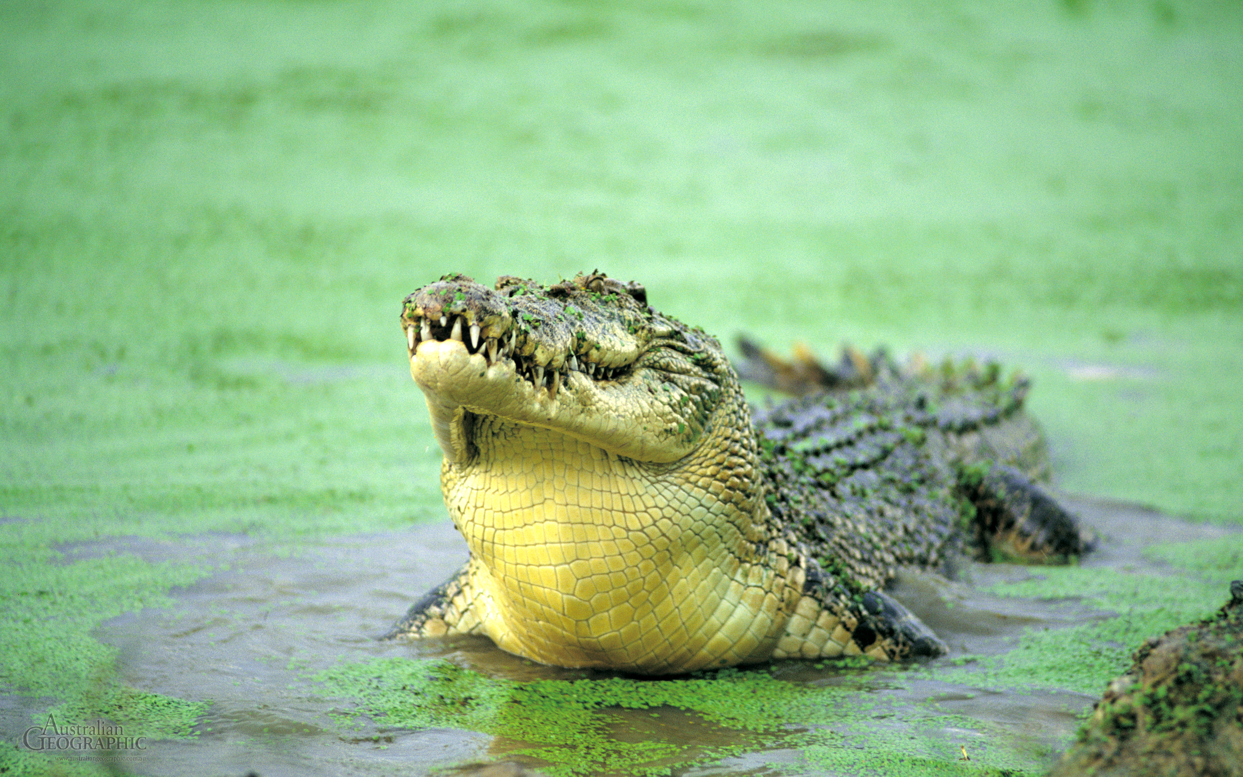 Crocodile Full HD Wallpaper and Background Image ...