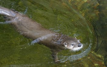 Animalia - Otter Wallpapers and Backgrounds ID : 417002