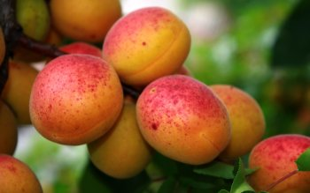 Alimento - Peach Wallpapers and Backgrounds ID : 417081