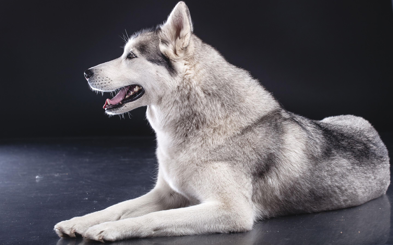 Siberian Husky Hd Wallpaper Background Image 2880x1800 Id