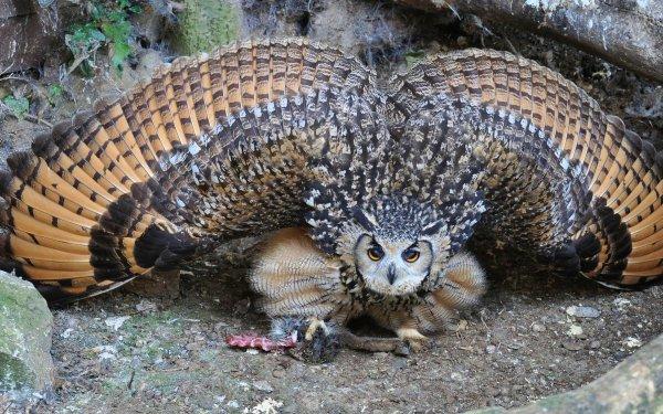 Animal Burrowing Owl Birds Owls Owl Bird HD Wallpaper | Background Image