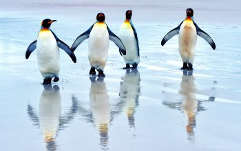 Animal - Penguin Wallpapers and Backgrounds ID : 420547