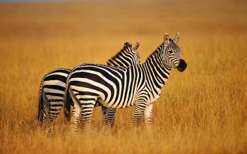 Animal - Zebra Wallpapers and Backgrounds ID : 420990