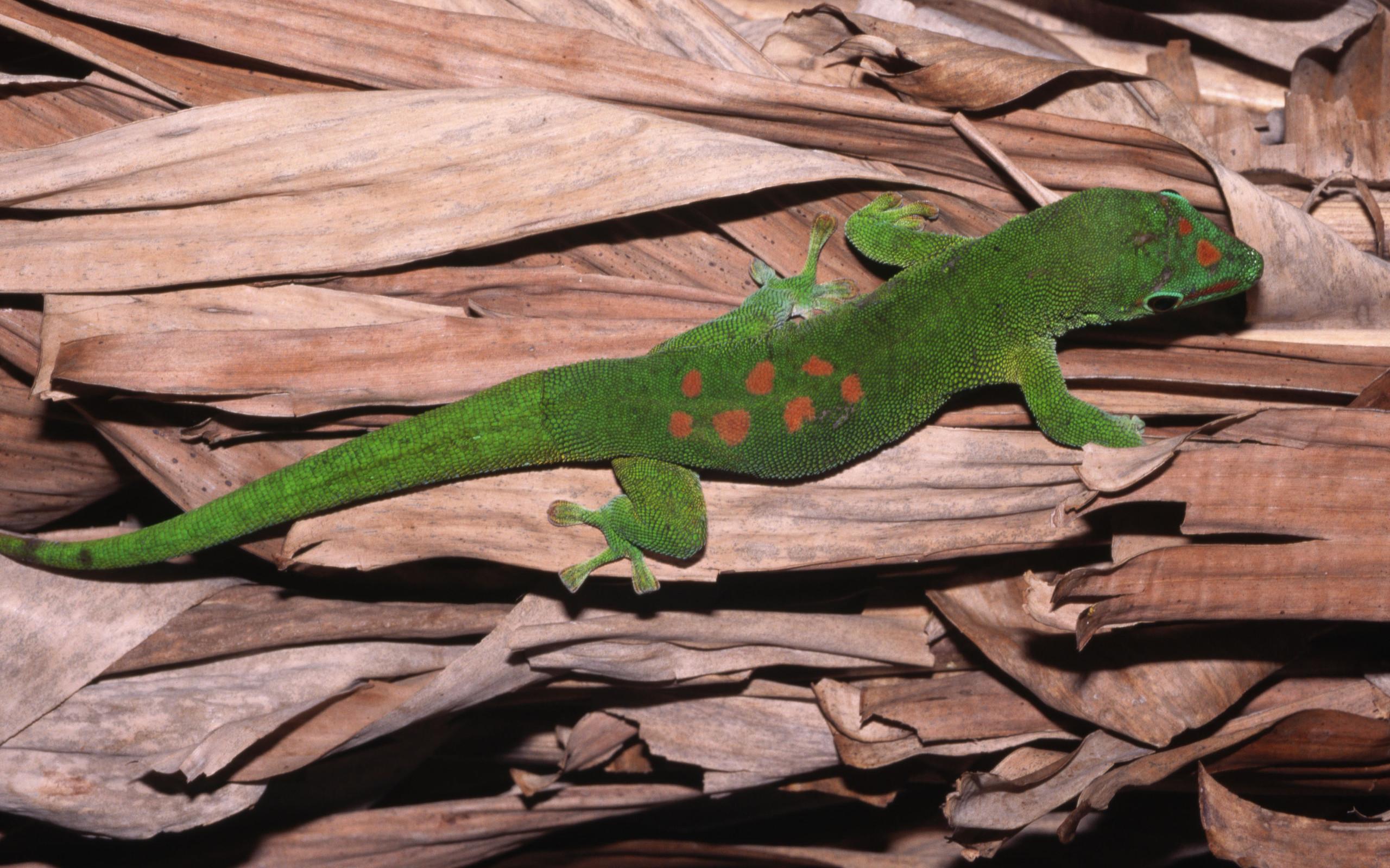 3840x2160 wallpaper lizard gecko - photo #13