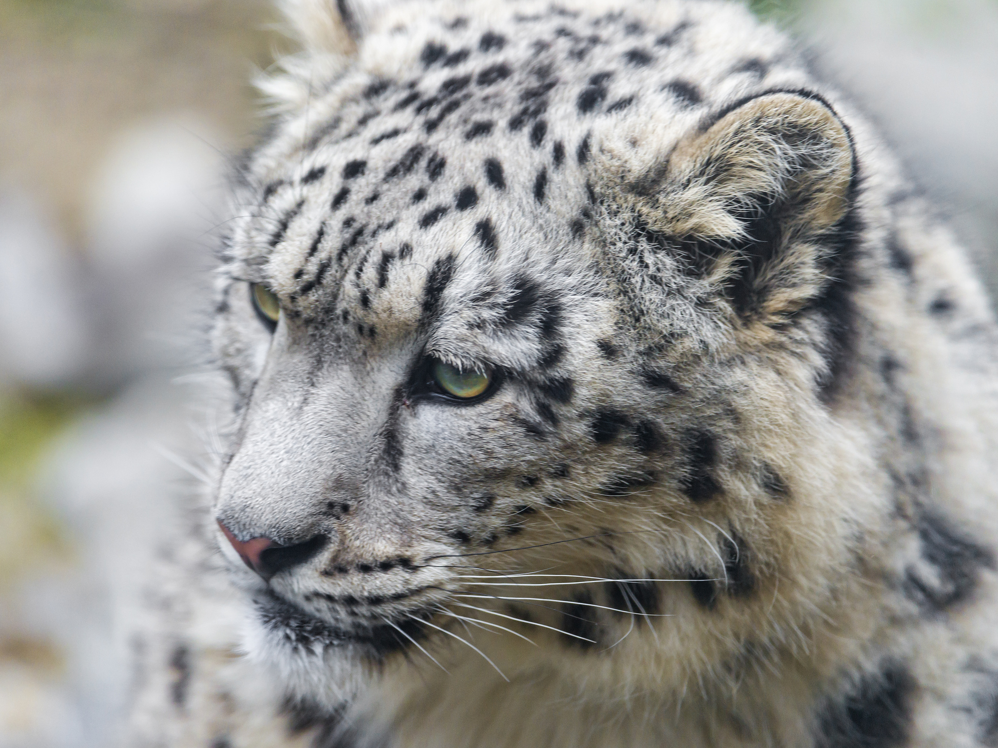 snow leopard wallpaper for iphone 6