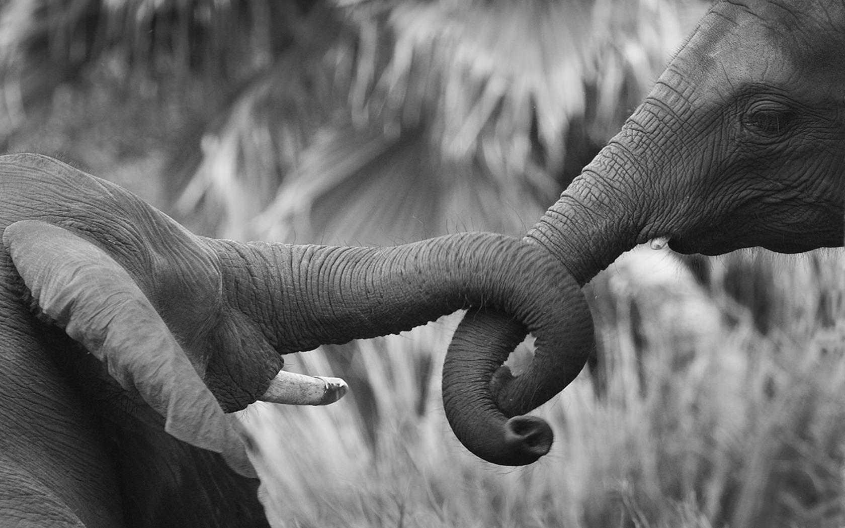 Elephant Wallpaper and Background Image | 1680x1050 | ID ... - photo#35