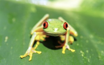Animal - Red Eyed Tree Frog Wallpapers and Backgrounds ID : 422059