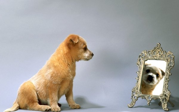 Animal Dog Dogs Puppy Mirror HD Wallpaper | Background Image
