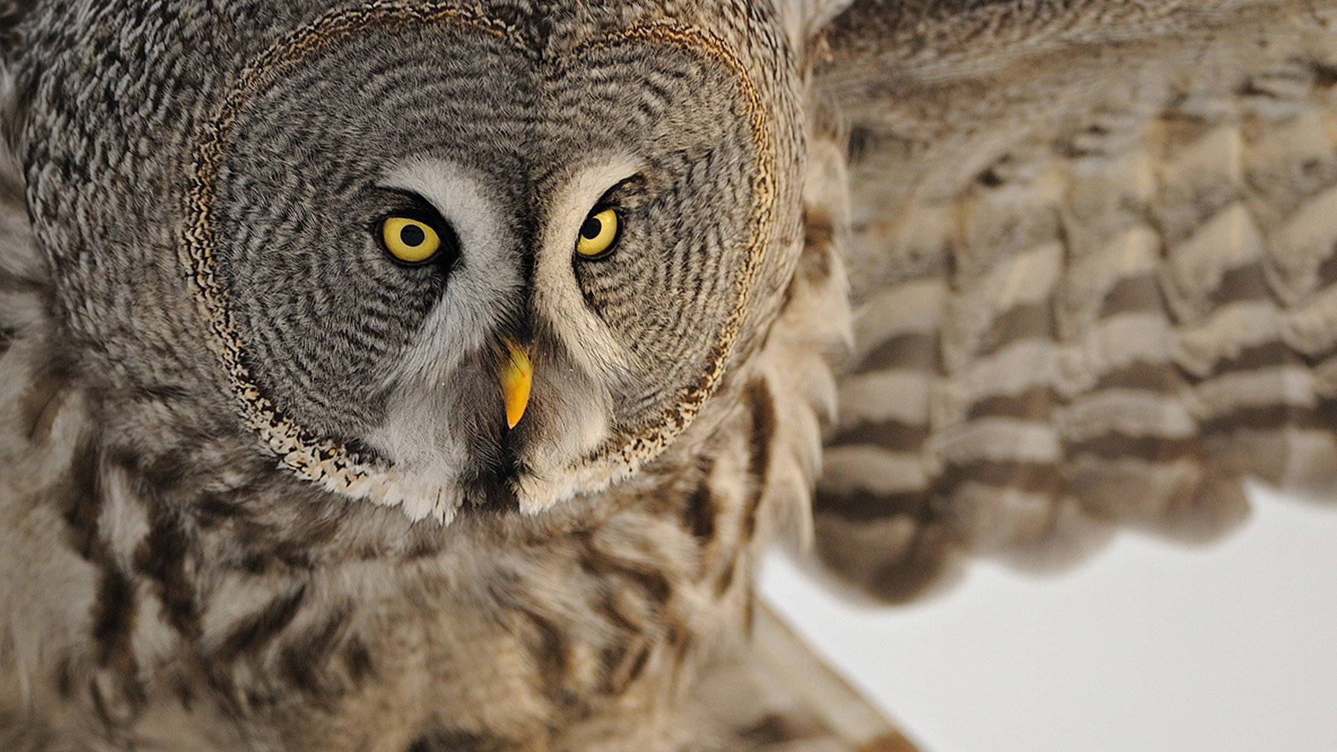 Great grey owl Full HD Wallpaper and Background Image ...