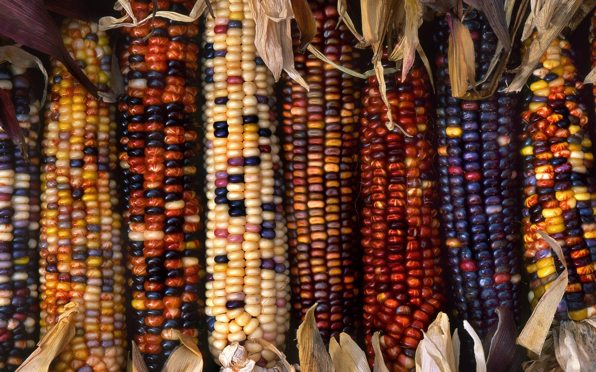 Colorful Food Wallpaper Free Download: Multi-colored Ornamental Indian Corn Full HD Wallpaper And