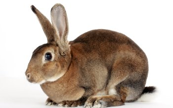 Animal - Rabbit Wallpapers and Backgrounds ID : 423625