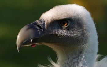 Animal - Griffon Vulture Wallpapers and Backgrounds ID : 425210