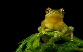 Animal - Tree Frog Wallpapers and Backgrounds ID : 425281