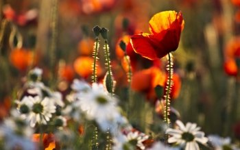 Earth - Poppy Wallpapers and Backgrounds ID : 425319