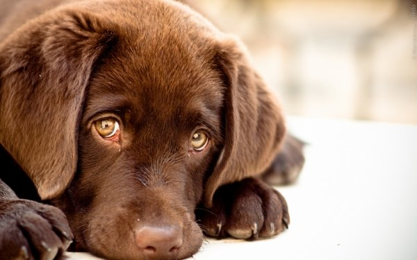Animal - dog Wallpapers and Backgrounds