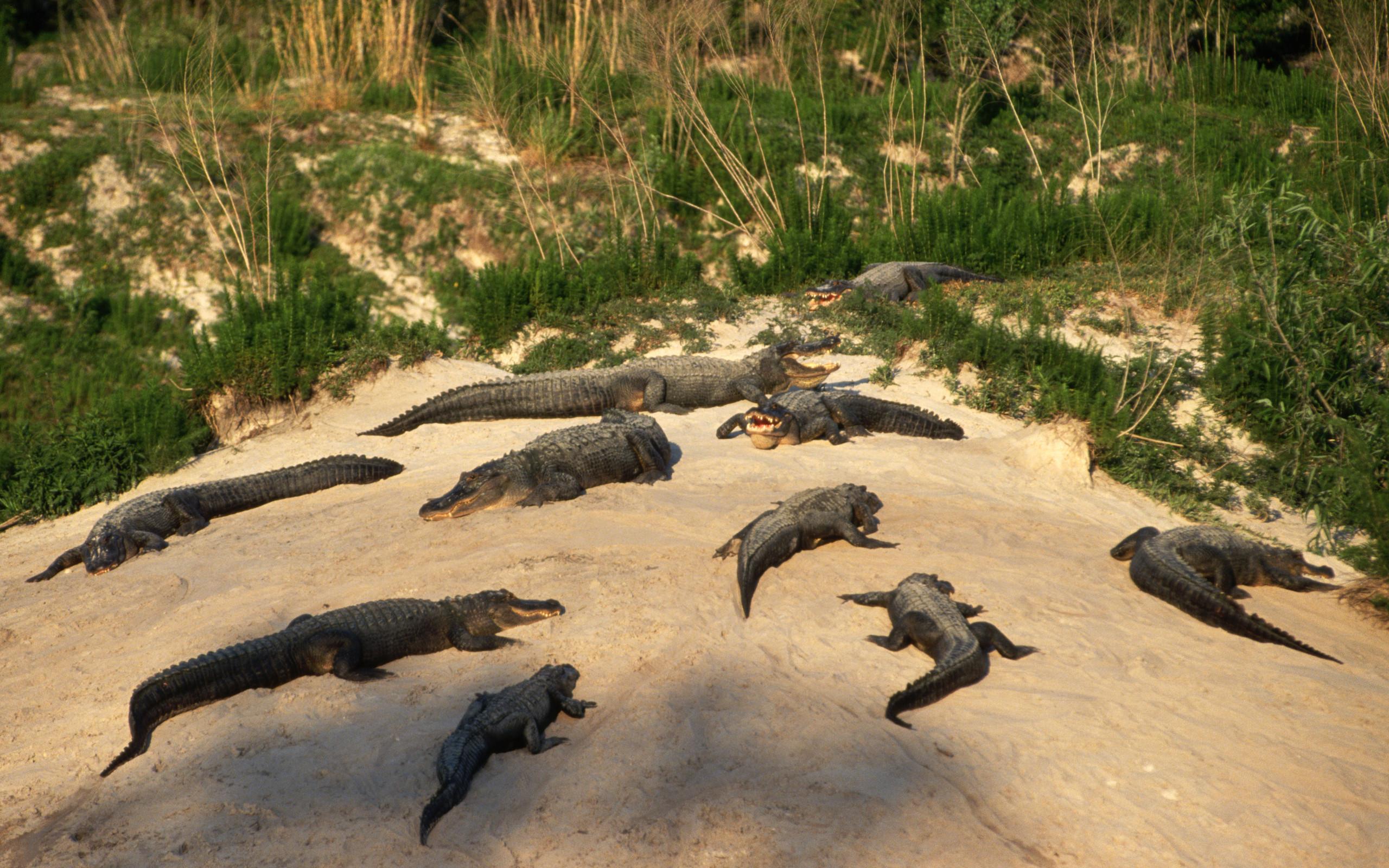 Crocodile HD Wallpaper | Background Image | 2560x1600 | ID ...