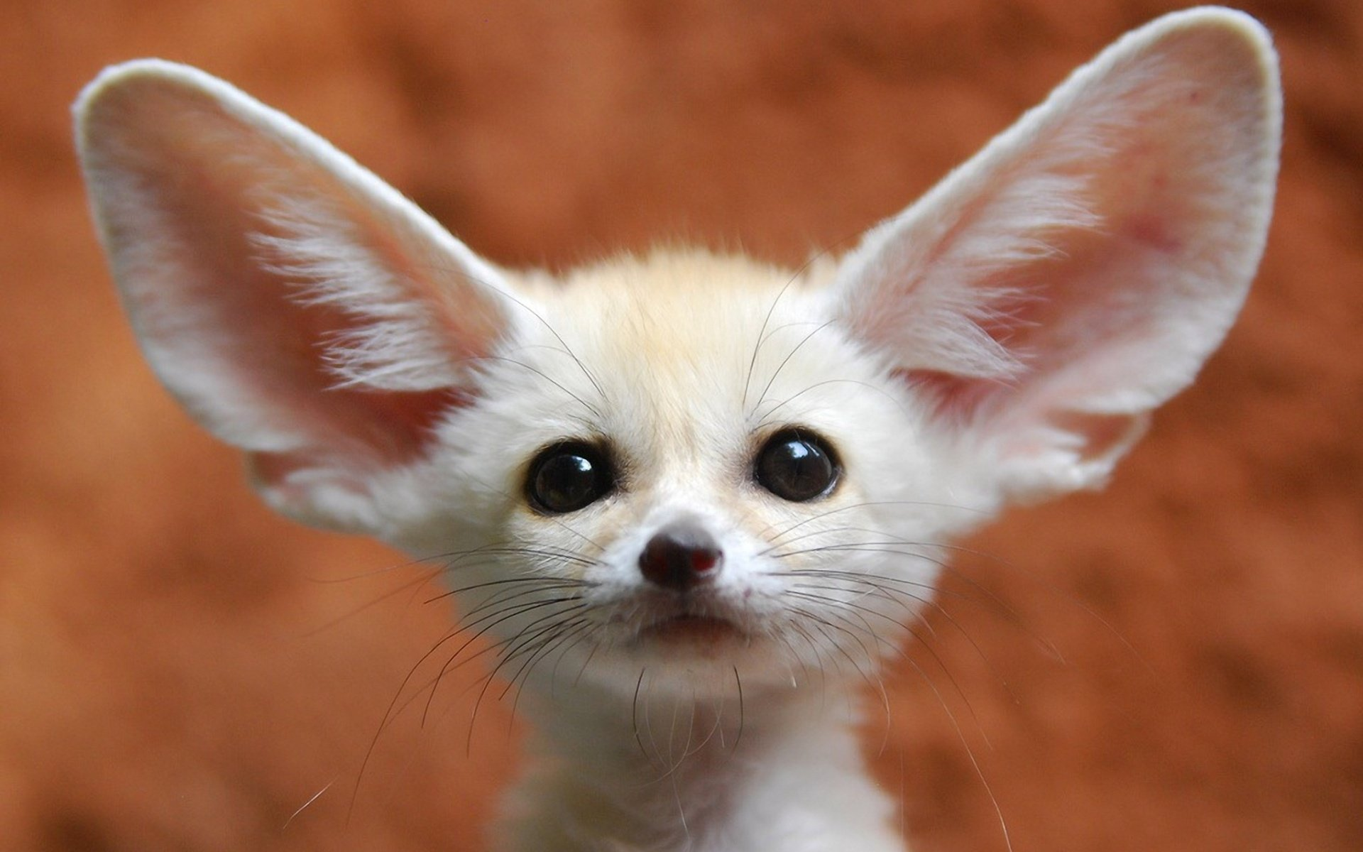 40 Fennec Fox Hd Wallpapers Background Images Wallpaper