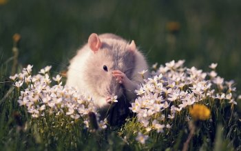 Animal - Mouse Wallpapers and Backgrounds ID : 426521