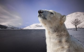 Animal - Polar Bear Wallpapers and Backgrounds ID : 426536