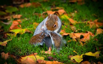 Animal - Squirrel Wallpapers and Backgrounds ID : 426746