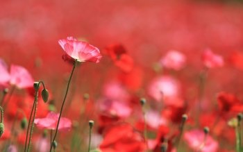 Earth - Poppy Wallpapers and Backgrounds ID : 427084