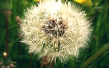 Earth - Dandelion Wallpapers and Backgrounds ID : 427252