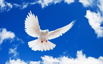 Animal - Dove Wallpapers and Backgrounds ID : 427261